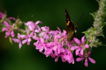 wildwood_butterfly_desktop